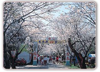 母智丘の桜